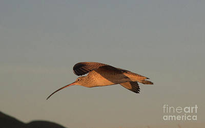 Photograph - Long Billed Curlew 8b5418 by Stephen Parker