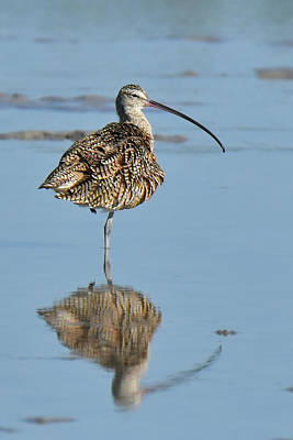 Photograph - Long-billed Curlew by Alan Lenk