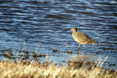 Photograph - Long-billed Curlew by Belinda Greb