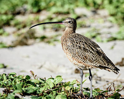 Photograph - Long-billed Curlew by Debra Martz