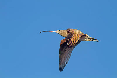 Photograph - Long-billed Curlew In Flight by Mark Miller