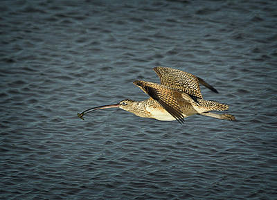 Photograph - Long-billed Curlew In Flight by Morgan Wright
