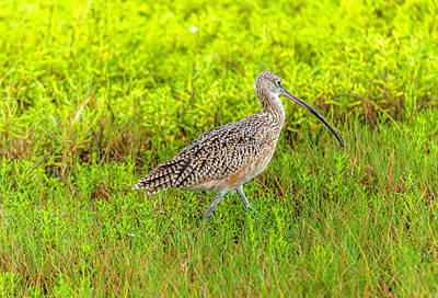 Photograph - Long-billed Curlew by Leticia Latocki