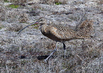 Long-billed Curlew Photograph - Long-billed Curlew by Marty Fancy