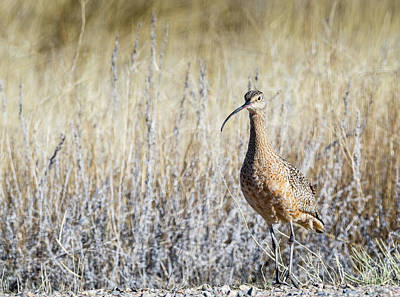 Photograph - Long Billed Curlew by Michael Chatt