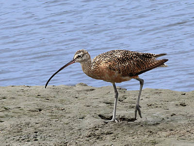 Photograph - Long-billed Curlew by Richard Stephen