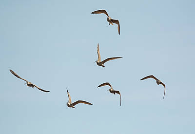 Long-billed Curlew Photograph - Long-billed Curlews In Flight by Loree Johnson