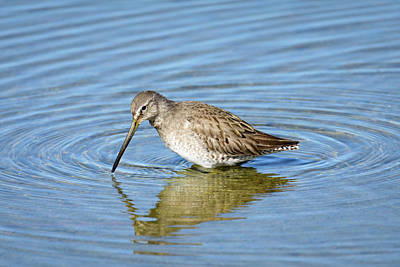 Photograph - Long-billed Dowitcher by Debra Martz