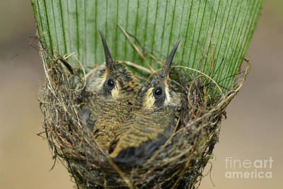 Osa Wall Art - Photograph - Long-billed Hermit Nest by Hugh Lansdown/FLPA
