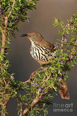 Photograph - Long-billed Thrasher Toxostoma Longirostre Wild Texas by Dave Welling