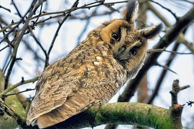 Photograph - Long Eared Owl 1 by Nadia Sanowar