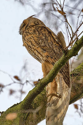 Photograph - Long Eared Owl 2 by Nadia Sanowar