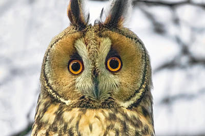 Photograph - Long Eared Owl 3 by Nadia Sanowar