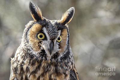 Photograph - Long Eared Owl by Angie Rea