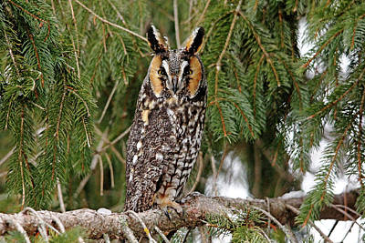 Photograph - Long Eared Owl by Debbie Oppermann