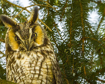 Photograph - Long Eared Owl - Female by Jack R Perry