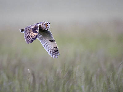 Photograph - Long Eared Owl Hunting At Dusk by Tony Mills