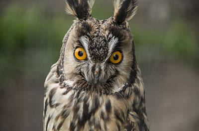 Long-eared Owl Art Print by Martina Fagan
