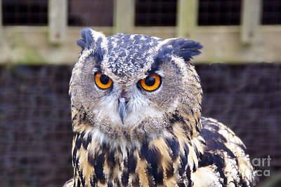 Photograph - Long-eared Owl by Rod Jones