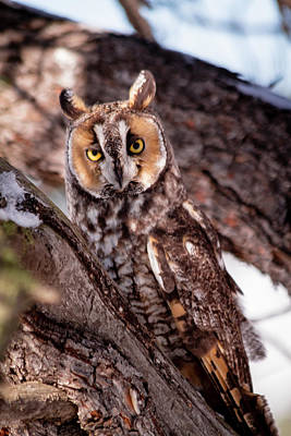 Photograph - Long Eared Owl by Teri Virbickis