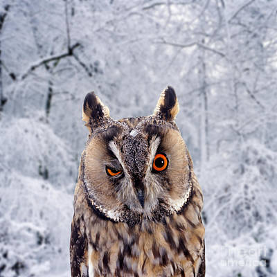 Photograph - Long-eared Owl Winking by Warren Photographic