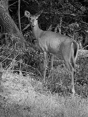 Photograph - Long Island Deer B W by Rob Hans