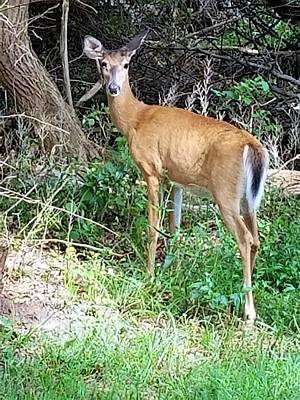 Photograph - Long Island Deer by Rob Hans