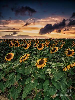 Photograph - Long Island Sunflower Sunset by Alissa Beth Photography
