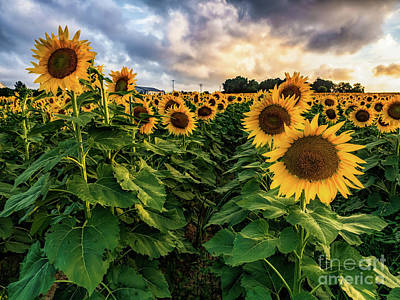 Photograph - Long Island Sunflowers  by Alissa Beth Photography