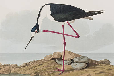 One Leg Painting - Long-legged Avocet by John James Audubon