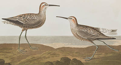 Sandpiper Painting - Long-legged Sandpiper by John James Audubon