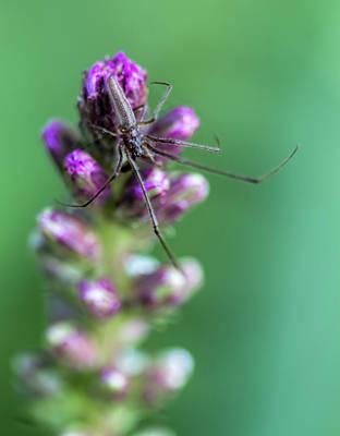 Photograph - Long Legged Spider On Blazing Star Blossom by Kathy Clark