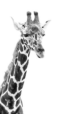 Photograph - Long Neck Giraffe Bw by Athena Mckinzie