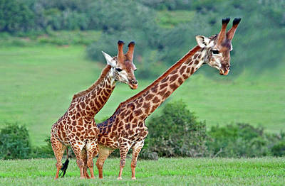 Long Necks Together Art Print by Bruce Iorio