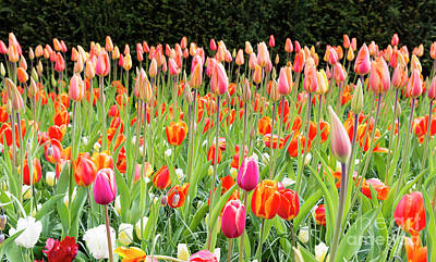 Photograph - long orange tulips in Holland by Compuinfoto