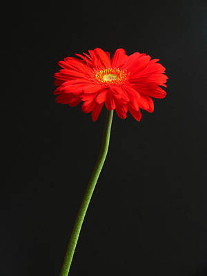 Gerber Daisy Photograph - Long Stem Beauty by Juergen Roth