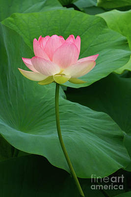 Photograph - Long Stem Lotus Beauty by Byron Varvarigos