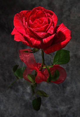 Photograph - Long Stemmed Rose by David Andersen