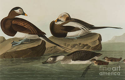 Painting - Long Tailed Duck, 1836  by John James Audubon