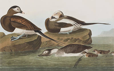 Waterfowl Drawing - Long Tailed Duck by John James Audubon
