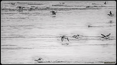 Photograph - Long-tailed Duck Migration by LeeAnn McLaneGoetz McLaneGoetzStudioLLCcom