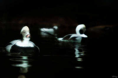 Photograph - Long-tailed Ducks by Dee Browning