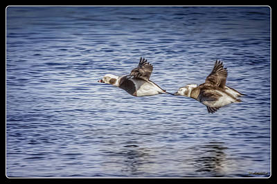 Photograph - Long-tailed Ducks In Flight by LeeAnn McLaneGoetz McLaneGoetzStudioLLCcom