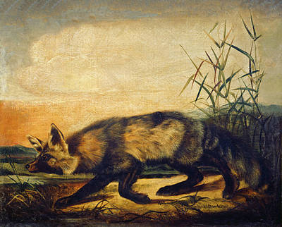 Painting - Long-tailed Red Fox by John Woodhouse Audubon