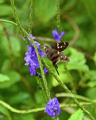 Photograph - Long-tailed Skipper Butterfly by Carol Bradley