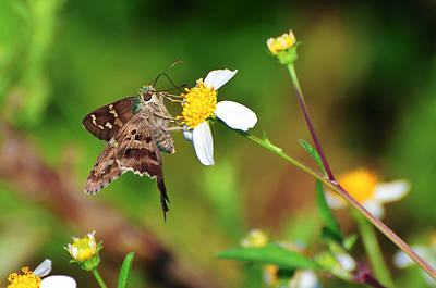 Beauty Mark Photograph - Long-tailed Skipper Butterfly by Rich Leighton
