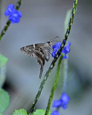 Photograph - Long-tailed Skipper by Carol  Bradley
