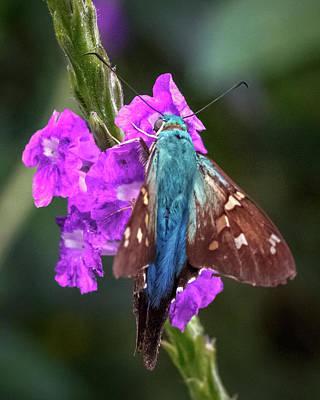 Photograph - Long-tailed Skipper Jardin Botanico Del Quindio Colombia by Adam Rainoff