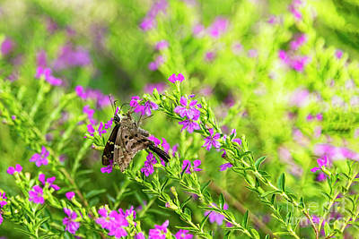 Photograph - Long-tailed Skipper Sipping Heather Nectar by Kay Brewer