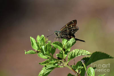 Photograph - Long Tailed Skipper by Skip Willits